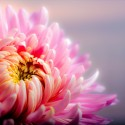 Perfect Chrysanthemum