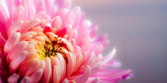 Perfect Chrysanthemum